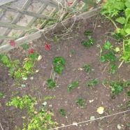 kleine Erdbeer - Ableger